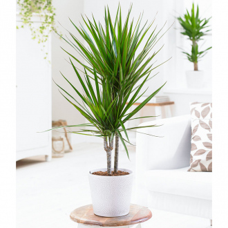 Pack de 2 Dracaena Dragon - 70/80 cm - pot de Ø 19 cm