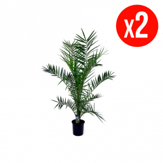 Pack de 2 Dattiers des Canaries XL - 100/120 cm - pot de Ø 19 cm